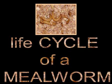 Life Cycle: After metamorphosis they mate and lay eggs, which hatch into larvae (singular = larva) or so called mealworms. The larvae undergoes a series.