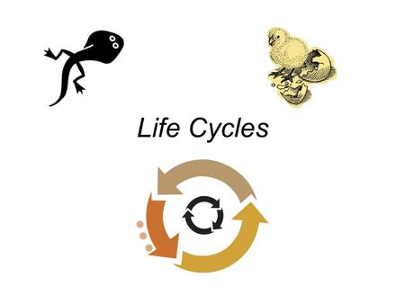 Life Cycles. A. Life Cycle A life cycle is a behavior or stage that occurs once in a lifetime. It is repeated generation after generation. ALL animals.