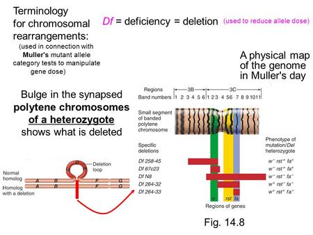 Terminology for chromosomal rearrangements: (used in connection with Muller's mutant allele category tests to manipulate gene dose) Df = deficiency = deletion.