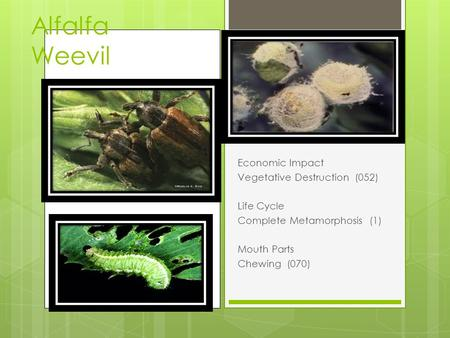 Alfalfa Weevil Economic Impact Vegetative Destruction (052) Life Cycle Complete Metamorphosis (1) Mouth Parts Chewing (070)