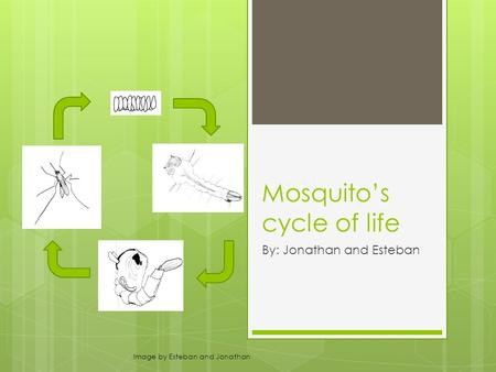 Mosquito's cycle of life By: Jonathan and Esteban Image by Esteban and Jonathan.