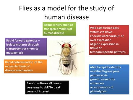 Flies as a model for the study of human disease Rapid forward genetics – isolate mutants through transposons or chemical mutagenesis Rapid forward genetics.
