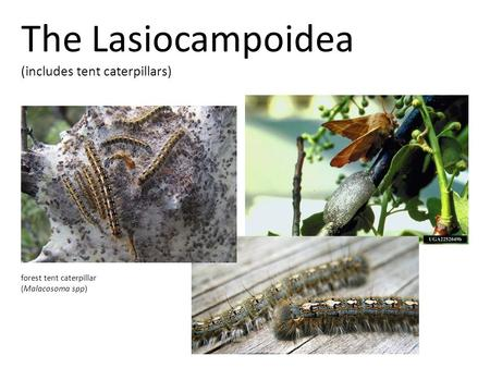 The Lasiocampoidea (includes tent caterpillars) forest tent caterpillar (Malacosoma spp)