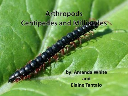 by: Amanda White and Elaine Tantalo What do centipedes and millipedes look like? small animal worm like bodies many legs some are born with all legs.