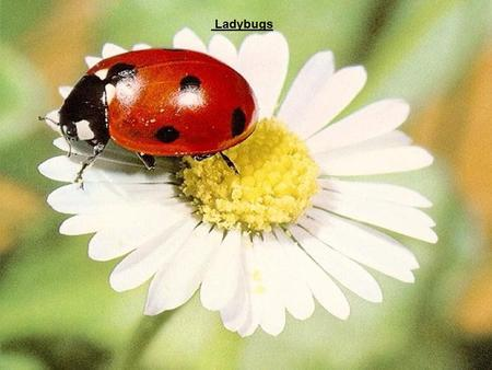 Ladybugs. Coccinellidae is a family of beetles commonly called ladybird, ladybug, or lady beetle. These small insects' sizes range from 1mm to 10mm.Ladybugs.