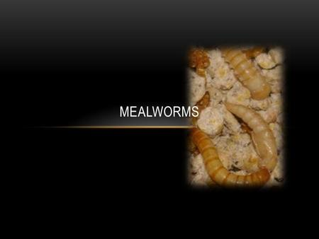 MEALWORMS WILD HABITAT Mealworms live where they are surrounded by what they eat - under rocks, logs, animal burrows and in stored grains.