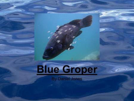 By Daniel Jones Blue Groper. Where they live (As Shown to the right) The Red is where the Eastern Blue Groper lives and the blue is where the Western.