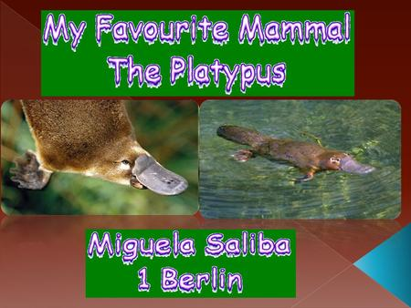  Platypuses live in freshwater, rivers or lakes (In eastern Australia, Tasmania).  They are most active during night time hours.  When swimming the.