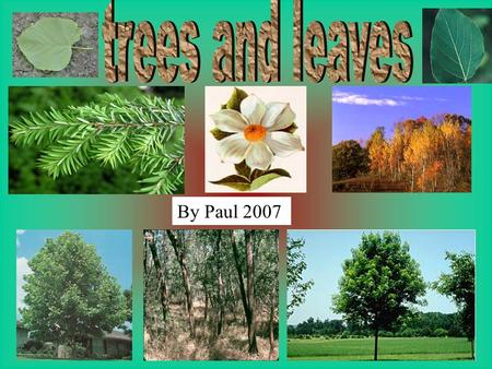 By Paul 2007. In this project I am researching trees and leaves. I want to find more about the different kinds of trees and leaves. I want to learn about.