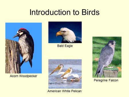 Introduction to Birds Acorn Woodpecker Bald Eagle Peregrine Falcon American White Pelican.