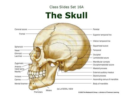 Class Slides Set 16A The Skull. Many changes take place in the skull...