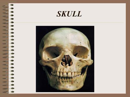 SKULL. HUMAN SKULL Consists of 22 bones 8 of these bones make up the cranium 14 form the facial skeleton. (also 6 tiny bones in the middle ear)