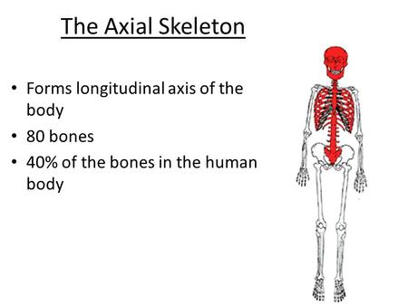 The Axial Skeleton Forms longitudinal axis of the body 80 bones