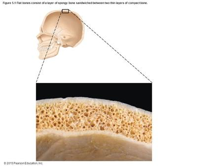 Figure 5.1 Flat bones consist of a layer of spongy bone sandwiched between two thin layers of compact bone.
