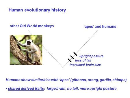 Human evolutionary history Humans show similarities with 'apes' (gibbons, orang, gorilla, chimps) shared derived traits: large brain, no tail, more upright.