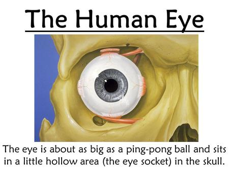 The Human Eye The eye is about as big as a ping-pong ball and sits in a little hollow area (the eye socket) in the skull.