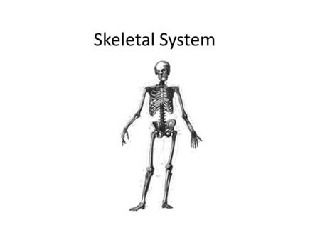 Skeletal System. I. Functions of bone A.Support B.Protection C.Movement-lever system D.Storage E.Blood cell formation.