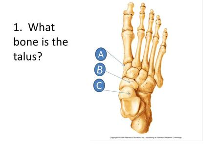 1. What bone is the talus? A B C. C 2. Which letter points to the intermediate cuniform? B A C.
