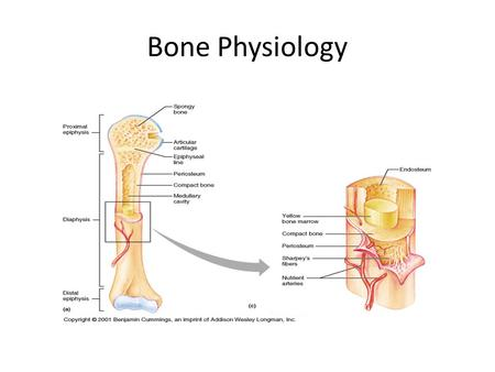 Bone Physiology. Parts of long bone Find and define the parts of a long bone. Page 190.