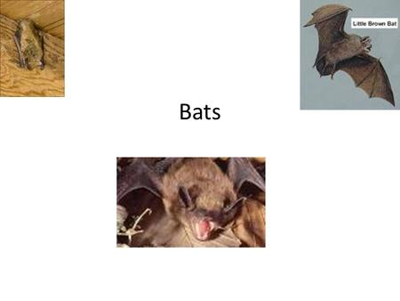 Bats. bio Bats are the only flying mammals (others may glide) Wings are made of skin stretched between very long forearm and finger bones, extending back.