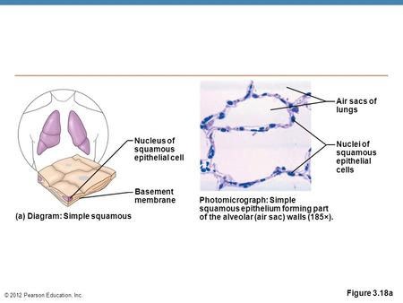 © 2012 Pearson Education, Inc. Figure 3.18a Nucleus of squamous epithelial cell Basement membrane (a) Diagram: Simple squamous Photomicrograph: Simple.