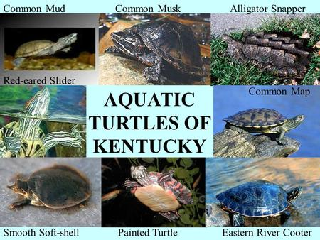 Common Mud Common Map Alligator Snapper Red-eared Slider Smooth Soft-shellPainted TurtleEastern River Cooter AQUATIC TURTLES OF KENTUCKY Common Musk.