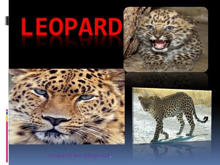 Leopards are dangerous.. Table of contents  description Interesting facts size  Diet.
