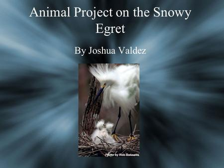 Animal Project on the Snowy Egret By Joshua Valdez.