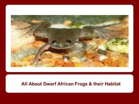 All About Dwarf African Frogs & their Habitat. Today we are going to learn about: The Dwarf African Frog, their characteristics, and their habitat.