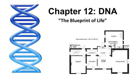 "Chapter 12: DNA ""The Blueprint of Life"". Chapter 12.1 (Pg. 338-343): Identifying the Substance of Genes."