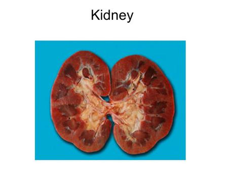 Kidney. Learning Objectives 1.To understand why the kidneys are so important. 2.To know how your kidneys work. 3.To know how sugar and dissolved ions.