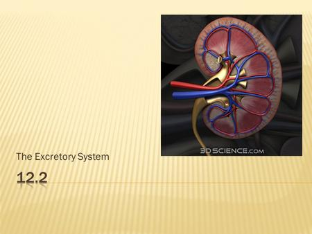 The Excretory System.  Proper functioning kidneys are essential for the body to maintain equilibrium  Sometimes diseases/disorders impair the function.