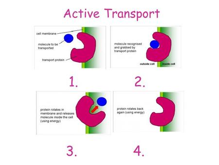 Active Transport 1. 2. 3. 4.. Active Transport Exchange in the Lungs.