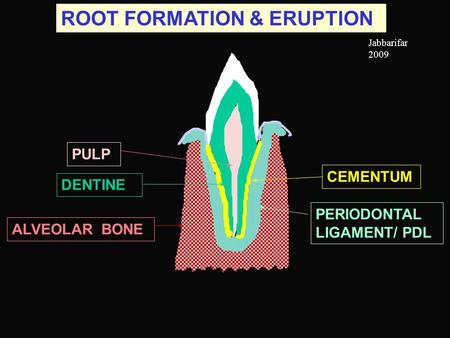 ROOT FORMATION & ERUPTION