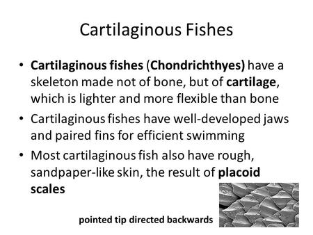 Cartilaginous Fishes Cartilaginous fishes (Chondrichthyes) have a skeleton made not of bone, but of cartilage, which is lighter and more flexible than.