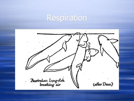 Respiration. Jawless Fishes  Gills - pore-like openings  7 pairs of gill pouches in lamprey  5-15 pairs of gill pouches in hagfish, but varying numbers.
