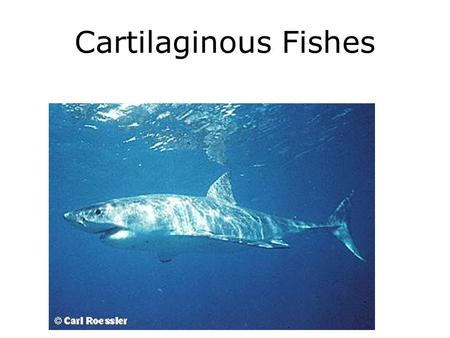 Cartilaginous Fishes. Skeletal Differences.