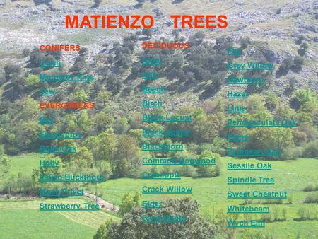 MATIENZO TREES CONIFERS Larch Monterey Pine Yew EVERGREENS Bay Eucalyptus Holm Oak Holly Italian Buckthorn Mock Privet Strawberry Tree DECIDUOUS Alder.
