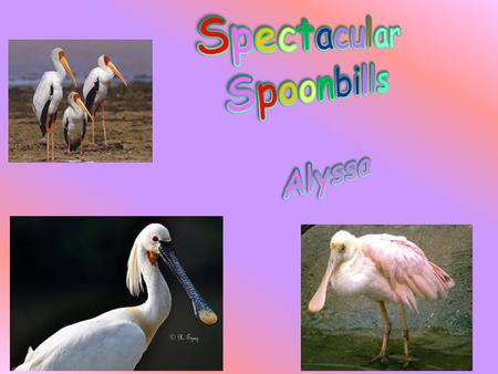 Did you ever hear of a spoonbill stork? If you didn't, in this report I will tell you about one. In this report I will tell you about a spoonbill stork.