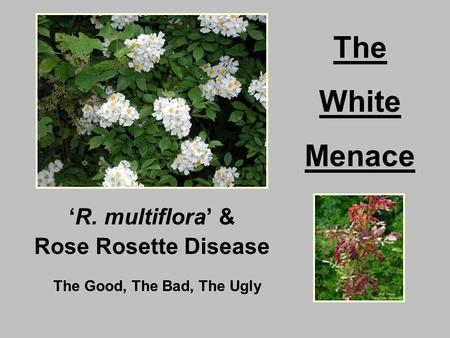 'R. multiflora' & Rose Rosette Disease