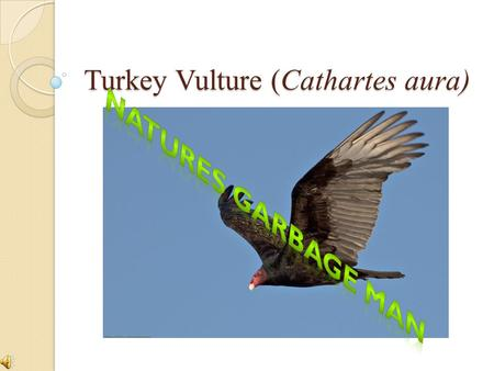 Turkey Vulture (Cathartes aura) a. Habitat and Size Turkey Vultures can be found year round in Kentucky They nest in highly secluded areas on rock or.