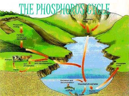 THE PHOSPHORUS CYCLE. WHAT IS THE PHOSPHORUS CYCLE?  The phosphorus cycle, is the circulation of phosphorous among the rocks, soils, water, and plants.
