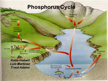 Phosphorus Cycle By, Katie Hebert Luis Martinez Trent Adams.