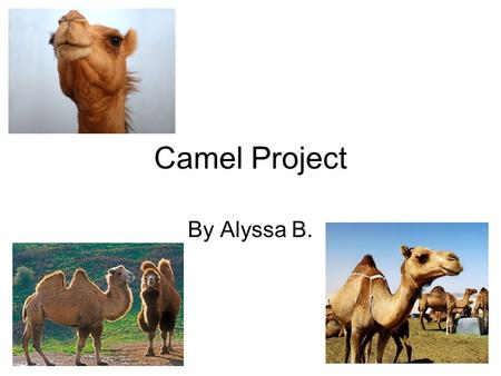 Camel Project By Alyssa B.. Facts Every year in Saudi Arabia there is a beauty contest to select the Prettiest Arabian Camel. Judges look at the following.