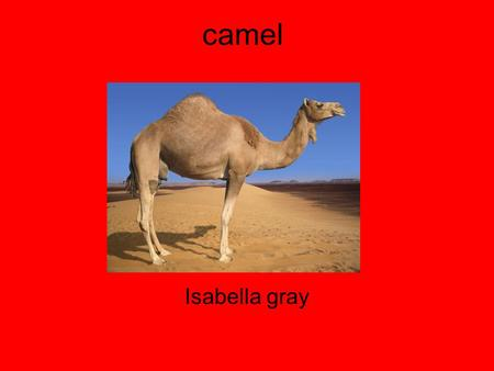 Camel Isabella gray. Diet Shortgrass Thom Saltyplants Fish camel is a omnivore.
