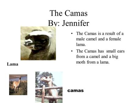 The Camas By: Jennifer The Camas is a result of a male camel and a female lama. The Camas has small ears from a camel and a big moth from a lama. camas.