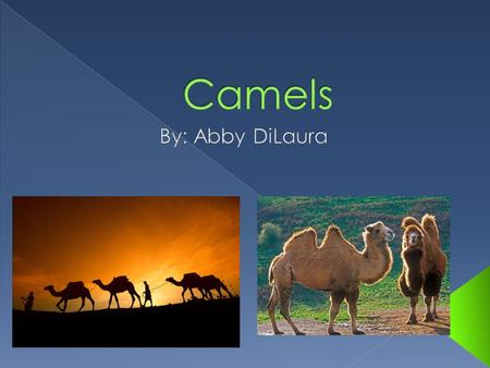  A camel is an even-toed ungulate within the genus Camelus.  There are two species of camels. The Dromedary or Arabian camel has one hump. The Bactrian.