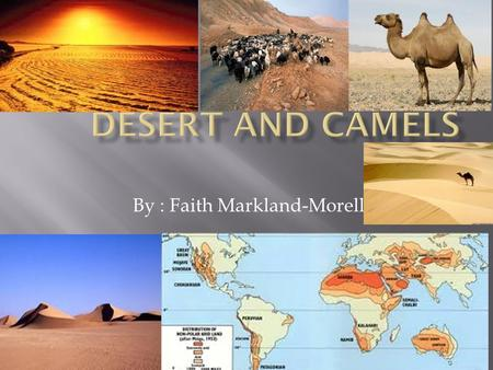 By : Faith Markland-Morell.  A Camel is a Herbivore because it only eats grass, leaves and trees because they all are apart of grass.  It can go 5-7.