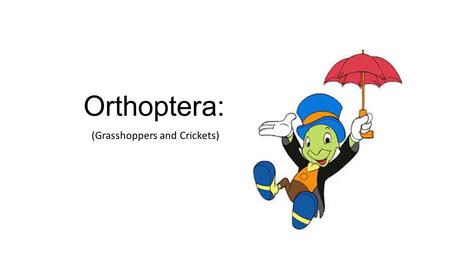 Orthoptera: (Grasshoppers and Crickets). Orthopterans all tend to have several traits Enlarged hind legs Big compound eyes (usually) Large pronotum If.