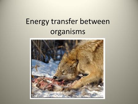 Energy transfer between organisms